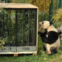 "Giant Panda ""Fu Long"" to China"
