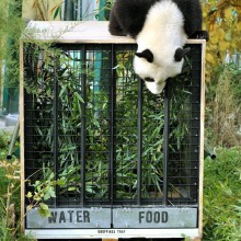 "Giant Panda ""Fu Hu"" to China"