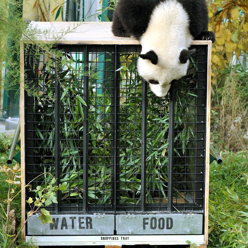 "Giant Panda ""Fu Hu"" to China"